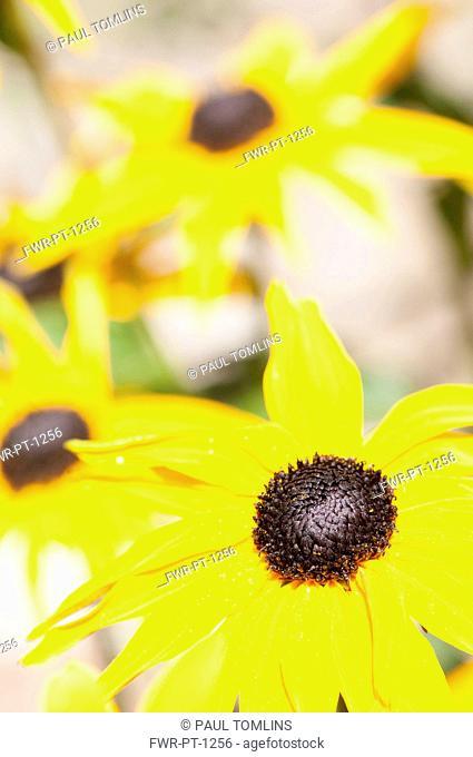Coneflower, Black Eyed Susan, Rudbeckia, Close up of yellow flowers