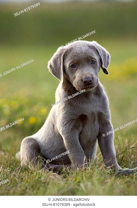 Labrador Retriever. Puppy sitting in grass. Germany