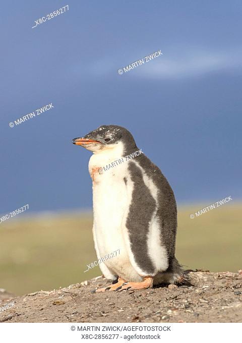 Gentoo Penguin (Pygoscelis papua), Falkland Islands. Chick. South America, Falkland Islands, January