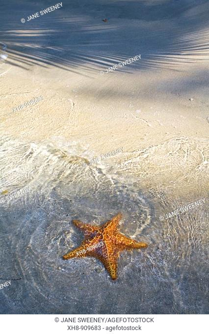 Starfish on Star Beach, Colon Island, Bocas del Toro Province, Panama