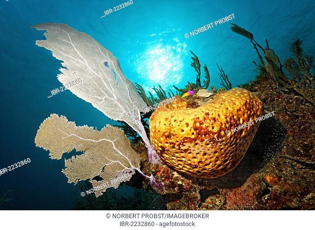 Coral reef, sun, backlit, orange sponge (Cinachyra sp.), Venus Fan or Venus Sea Fan (Gorgonia flabellum), Republic of Cuba, Caribbean Sea, Caribbean