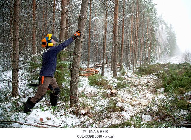 Logger pushing tree, Tammela, Forssa, Finland