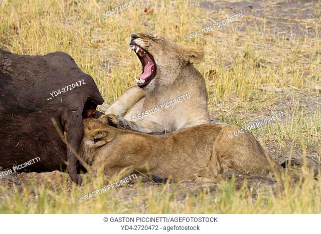 African Lion (Panthera leo) - Young eating a Cape Buffalo (Syncerus caffer caffer) which was killed two nights before by the females of the pride