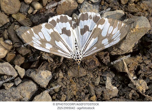Nyctemera adversata, Moth of the family Erebidae. Sukhai, Nagaland, India