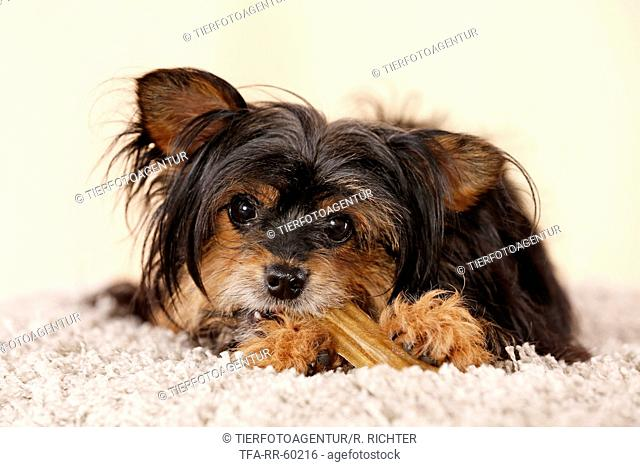 Yorkshire Terrier gnawing at bone