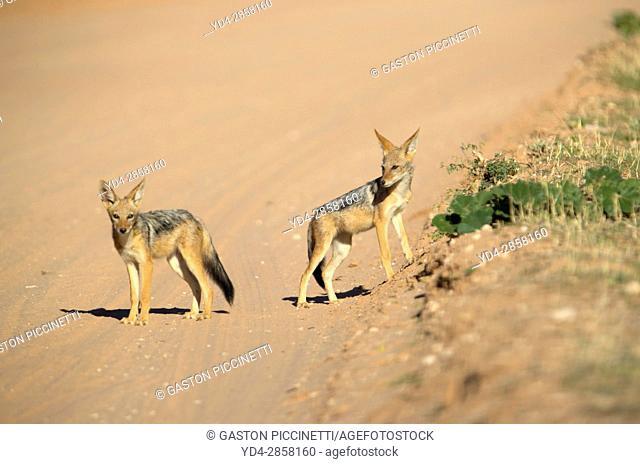 Black-backed Jackal (Canis mesomelas), Kgalagadi Transfrontier Park, Kalahari desert, South Africa/Botswana. wild; wildlife; africa; animal; southafrica;...