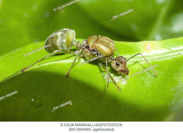 Green Tree Ant (Oecophylla smaragdina), Queen with eggs on leaf, Klungkung, Bali, Indonesia