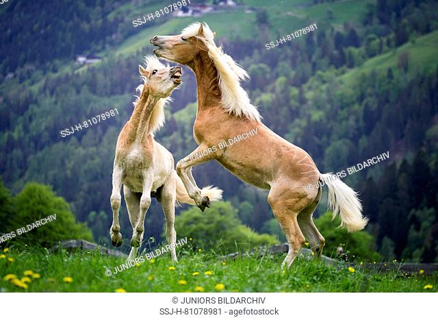 Haflinger Horse. Two juvenile stallions play-fighting on a pasture. South Tyrol, Italy