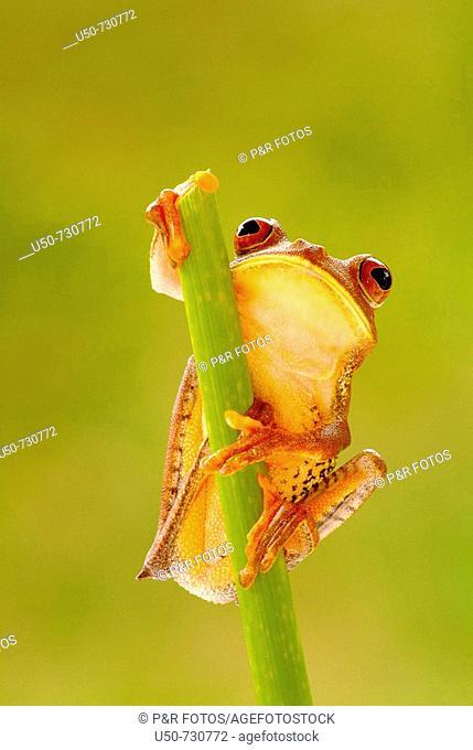 Treefrog, Hyla semilineata, Anura, Hylidae, Guarapari, ES, Brazil