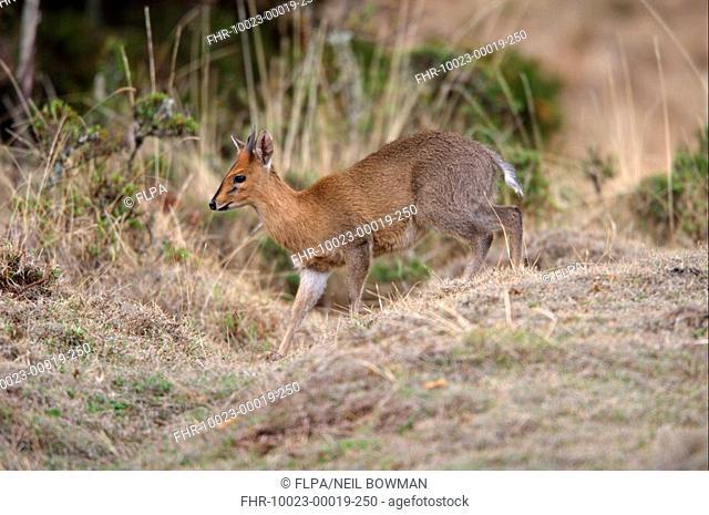 Common Duiker Sylvicapra grimmia adult male, walking in open woodland, Bale Mountains N P , Oromia, Ethiopia, april