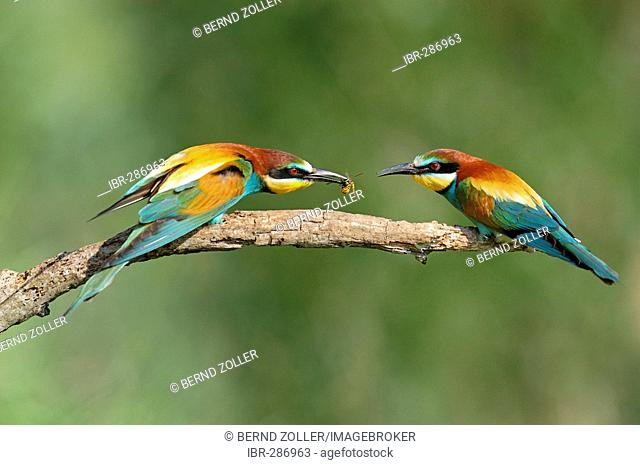 European Bee-eater (Merops apiaster) male presenting bag, wasp, to female