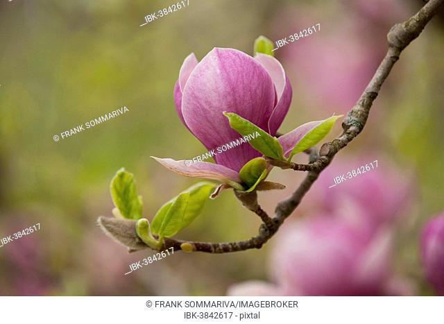 Saucer Magnolia (Magnolia x soulangeana), flowering, Thuringia, Germany