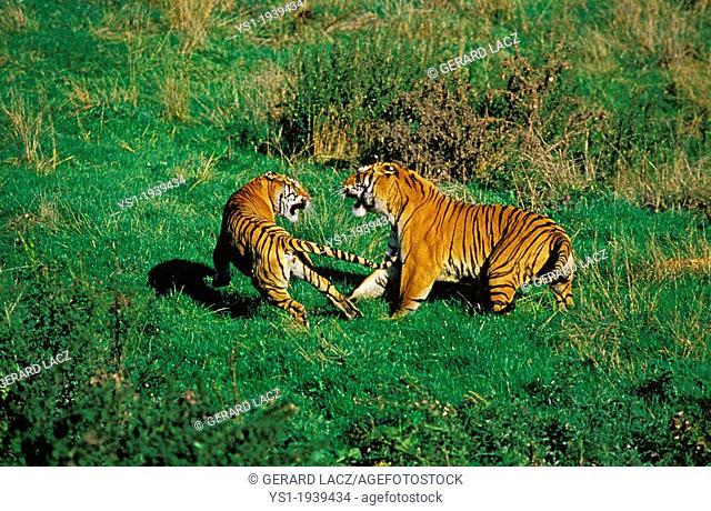 Bengal Tiger, panthera tigris tigris, Adults fighting