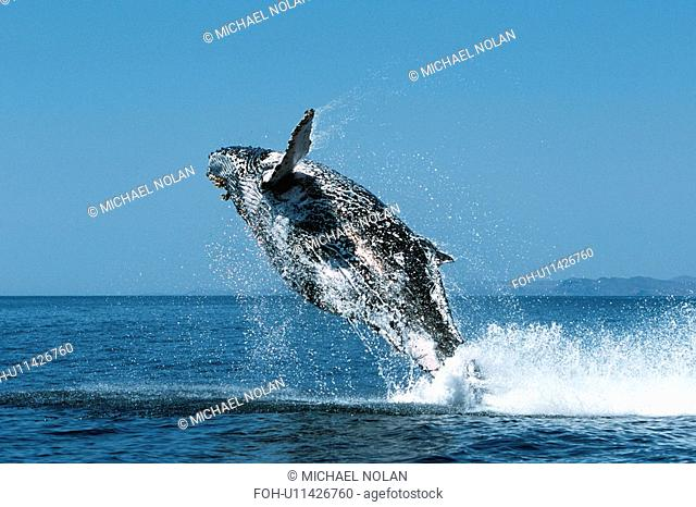 Sub-adult Humpback Whale, Megaptera novaeangliae, breaching in northern Gulf of California, Mexico