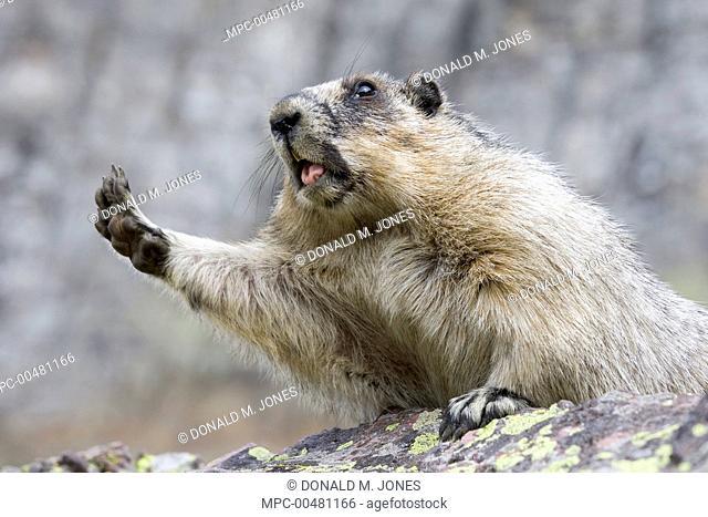 Yellow-bellied Marmot (Marmota flaviventris) stretching, Glacier National Park, Montana