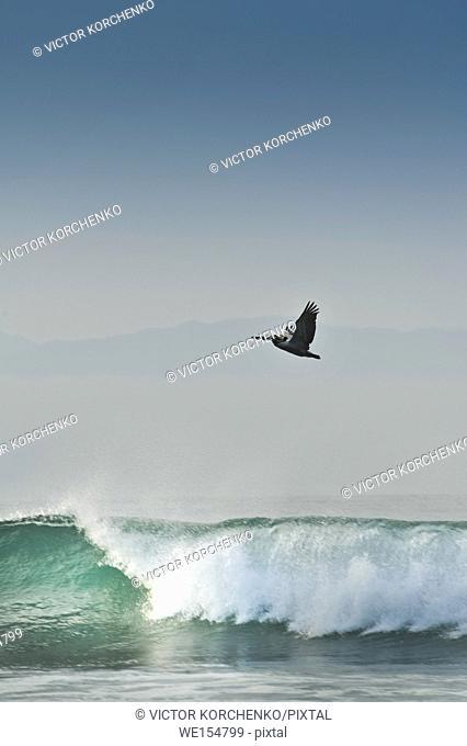 Pelican flying over wave surf on a beach near Puerto Vallarta, Mexico