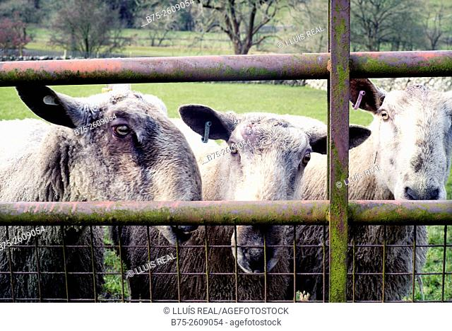 Three male lambs looking at the camera through a fence. Buckden, Upper Wharfedale, North Yorkshire, Yorshire Dales, Skipton, England, UK, Europe