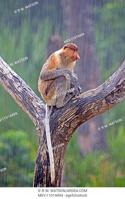 Proboscis / Long-nosed Monkey - in the rain Labuk Bay, Sabah, Malaysia, Borneo, Asia (Nasalis larvatus)