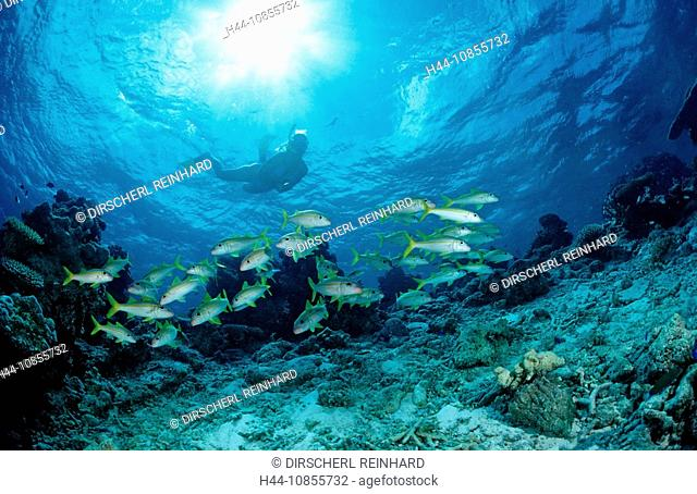 10855732, Maldives, Indian Ocean, Ari Atoll, snork
