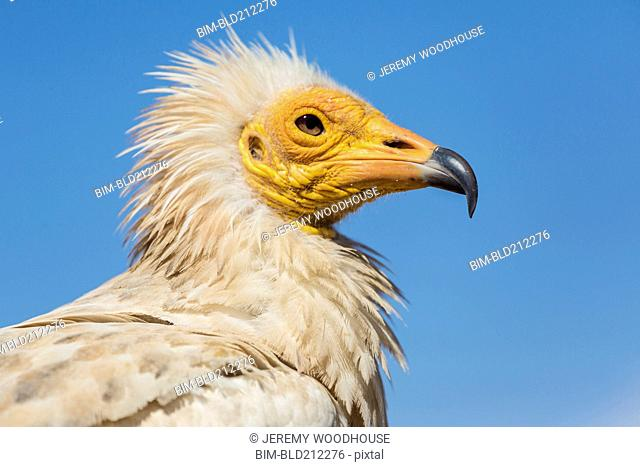 Close up of Egyptian vulture's face
