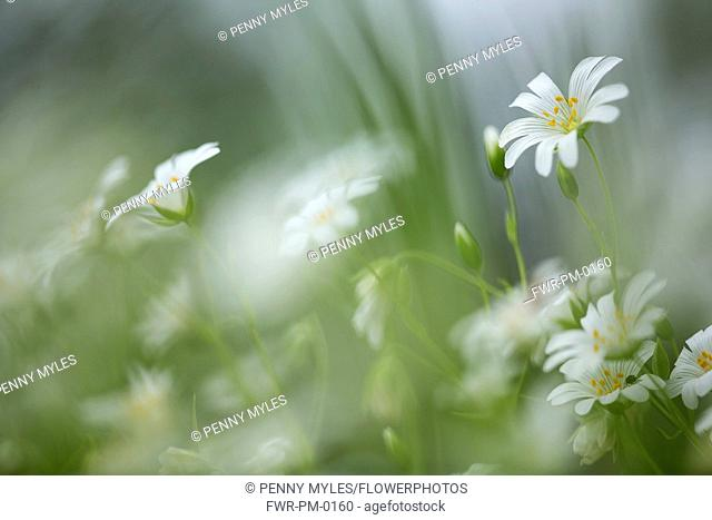 Stitchwort, Greater Stitchwort, Stellaria hoostea, Mass of white coloured flowers growing outdoor.-