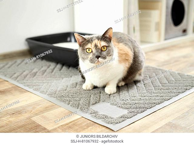 British Shorthair cat. Tricoloured adult in front of litter tray.on cat litter mat. Germany