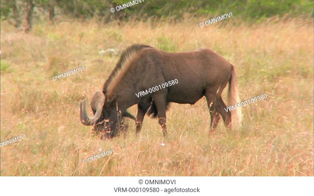 Side view of Black Wildebeest grazing and looking up at camera