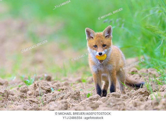 Red Fox (Vulpes vulpes) with Apple, Hesse, Germany, Europe