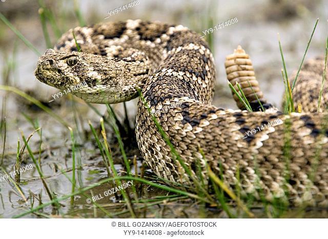 Western Diamondback Rattlesnake - Los Novios Ranch - near Cotulla, Texas USA