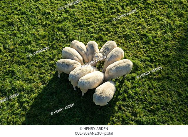 Flock of sheep huddled together, elevated view