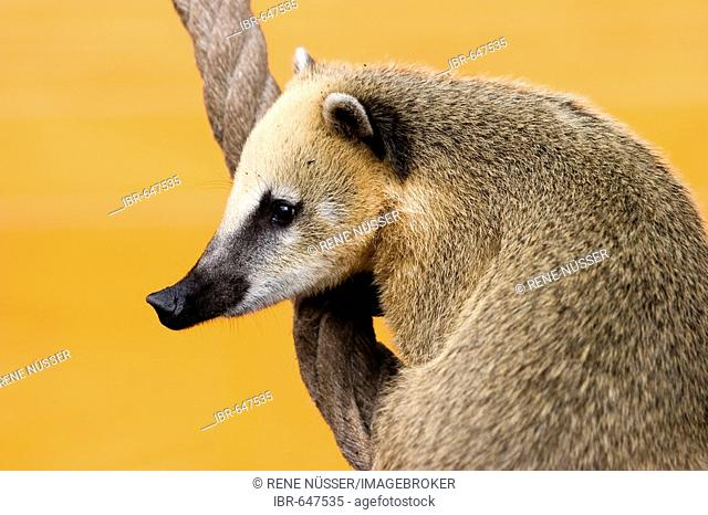 Coati (Nasua nasua), member of the Raccoon family (Procyonidae)