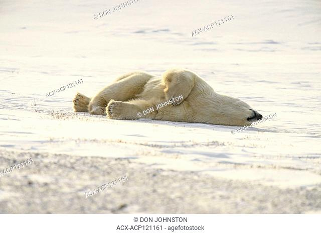 Polar Bear (Ursus maritimus) Grooming behaviour