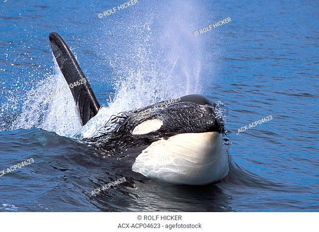 Killer Whale, British Columbia, Canada