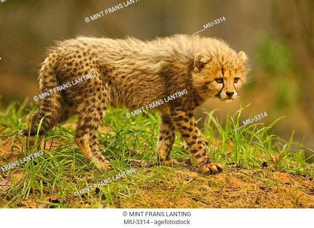 Cheetah cub, Acinonyx jubatus, White Oak Conservation Center, Florida