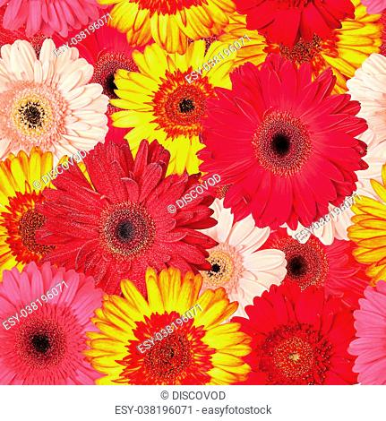 Seamless Pattern from Vibrant Gerbera Flowers, Wallpaper