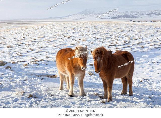 Two Icelandic horses (Equus ferus caballus / Equus Scandinavicus) in the snow in winter on Iceland