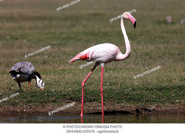 greater flamingo, thol, Gujarat, India, Asia