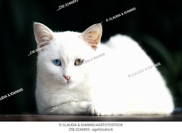 Portrait of a beautiful white odd eyed kitten against a black background