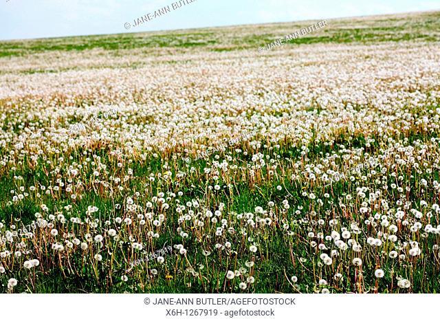 Field of Dandelions, Parachute Balls in Beautiful Natural Setting