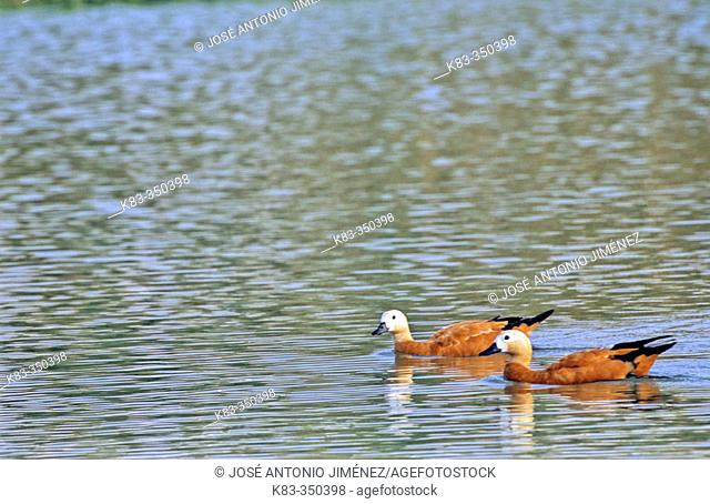 Ruddy Shelducks (Tadorna ferruginea)