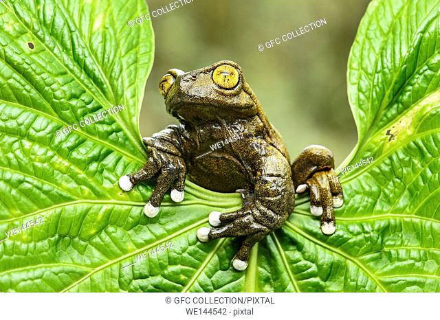 Neotropical treefrog Tapichalaca Torrenteer (Hyloscirtus tapichalaca), Treefrog family (Hylidae), endemic to Ecuador, occurs only in remote