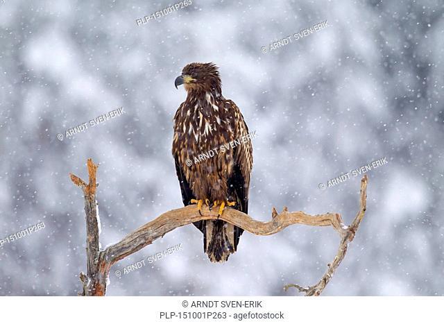 White-tailed Eagle / Sea Eagle / Erne (Haliaeetus albicilla) juvenile perched in tree in the snow in winter