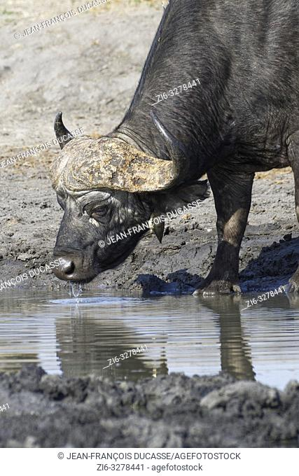 African buffalo (Syncerus caffer), adult male drinking at a waterhole with a red-billed oxpecker (Buphagus erythrorhynchus) hanging on the neck