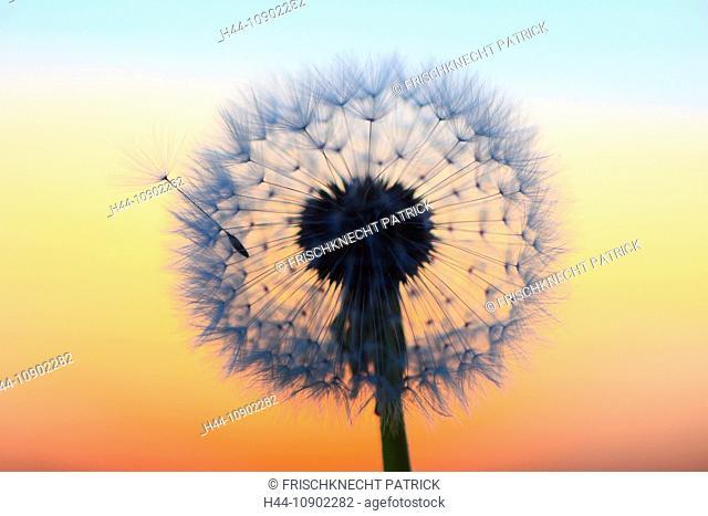 Flower, detail, dusk, twilight, flora, flight, reproduction, back light, sky, ease, light, air, dandelion, macro, morning, Morning-red, close-up, plant, puff