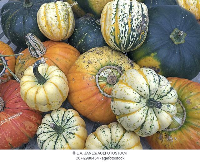 Turban Squash genus Cucurbita and other Mixed squashes from the garden in Autumn