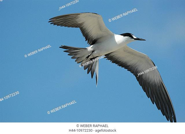 Ascension, Ascension Island, sooty tern, Onychoprion fuscatus, flight, glide