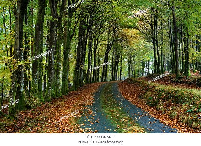 Small road lined with beech trees Fagus Sylvatica covered in rich vibrant autumnal colours, Ganllwyd, North Wales, Snowdonia, UK