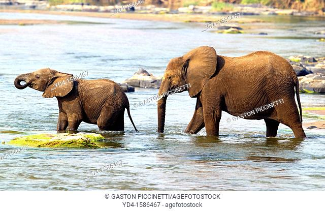 African Elephants Loxodonta africana- Mother and Young, crossing the river, Olifants River, Kruger National Park, South Africa