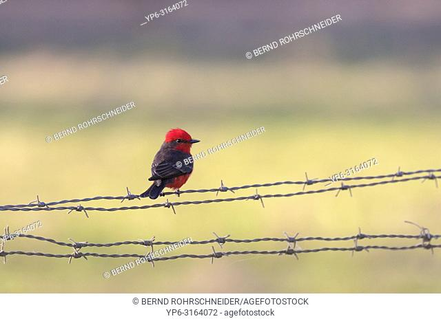 Vermilion flycatcher (Pyrocephalus rubinus), adult male perched on barbed wire, Pantanal, Mato Grosso, Brazil