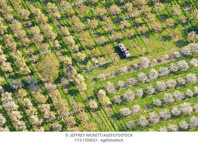 Aerial view of cherry orchard with Ford flat-bed truck carrying bee hives for spring pollination